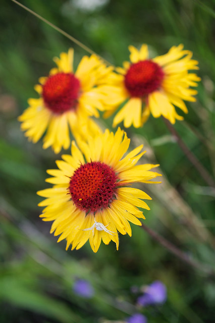 Brown-eyed susan with white spider