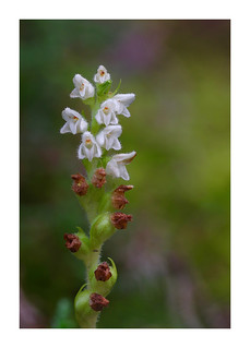 Among the heather, Fochabers - Creeping Lady's Tresses