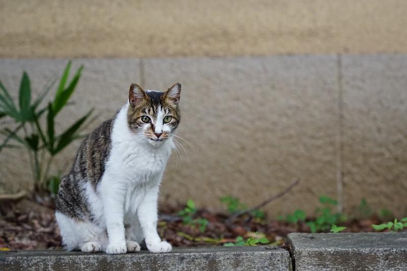 Sony α7Ⅱ+TAMRON 28 200mm f2 8 5 6 RXD南池袋法明寺の猫 キジ白