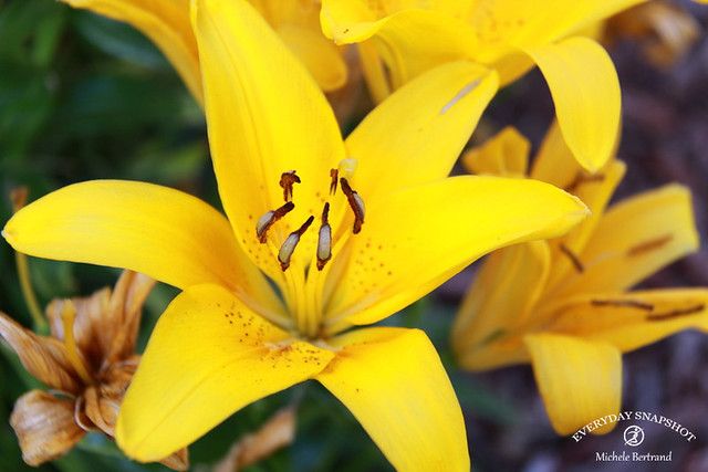 Flowers (Lilies)