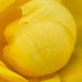 Yellow Rose (II), 5.25.20