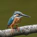 Kingfisher -202007112053.jpg