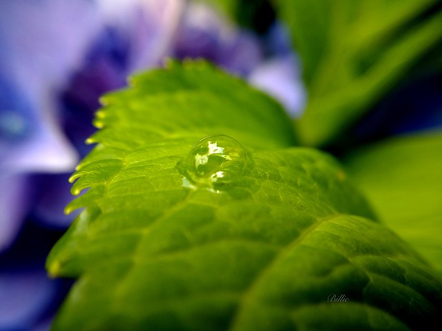 Herbs macro.......The lemon balm in my garden causes the mind and the heart to become merry !!