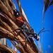 Rotschwarze Spinnenwespe