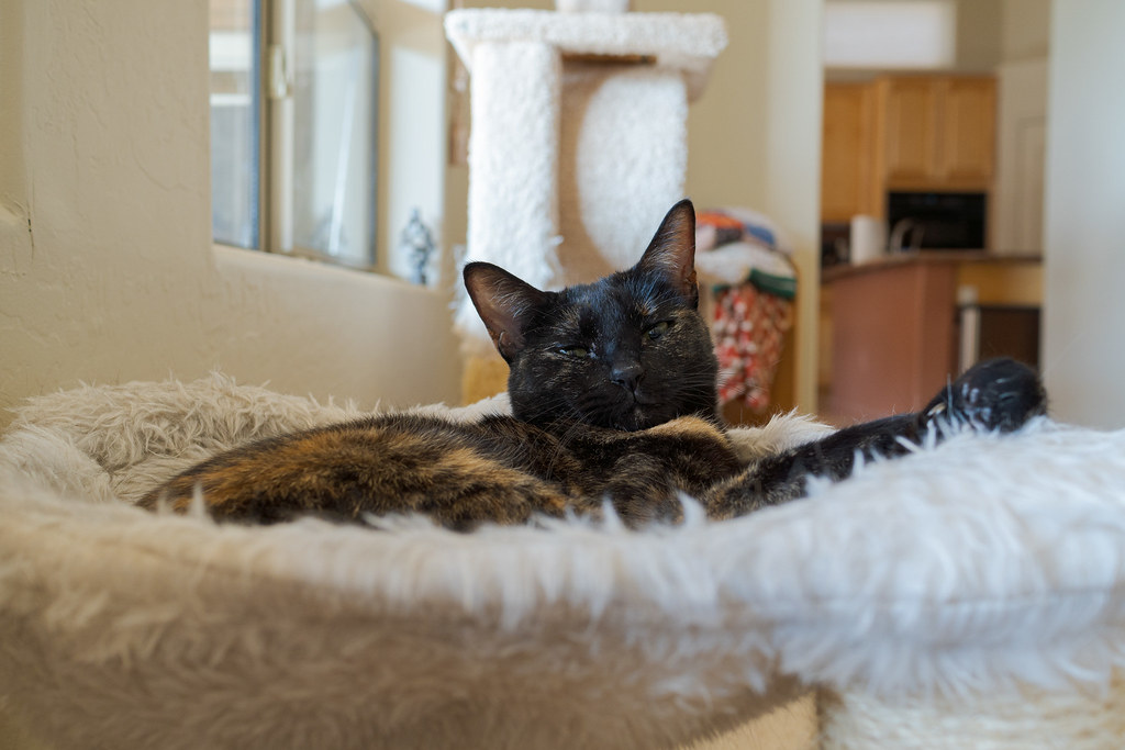 Our cat Trixie lies suspended in her favorite cat bed in our living room in May 2020