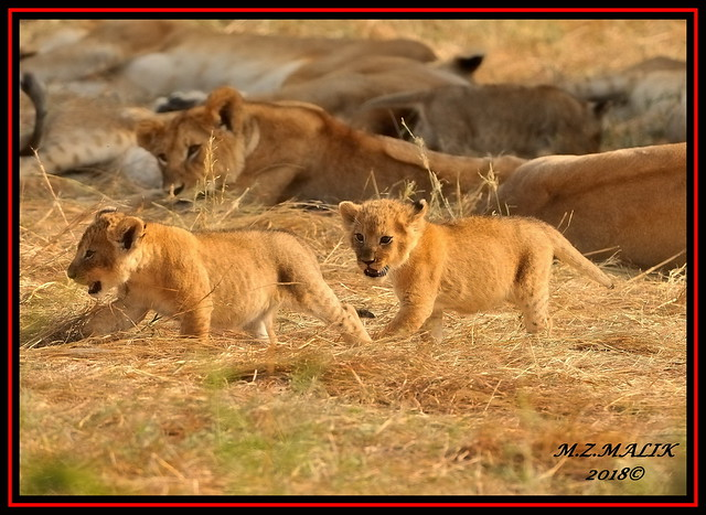PAIR OF LION CUBS (Panthera leo)....MASAI MARA.....SEPT 2018.