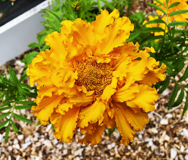 Yellow African Marigold