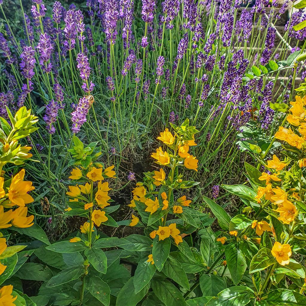 Lavendel 20200707_161528