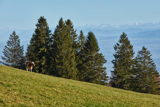 Weissentein mountain – A cow and a vista