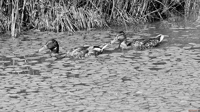 Canards colvert - Mallard duck, Québec, Canada - 7517