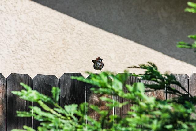 Bird On Fence 2009 05 14 01