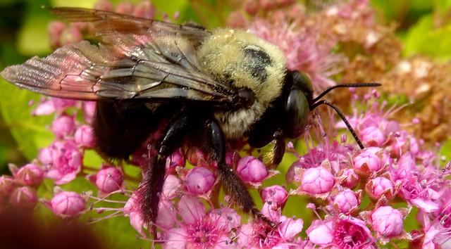 dying bumblebee on Spirea