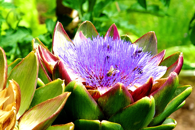 Artichoke in Bloom  with Visitor