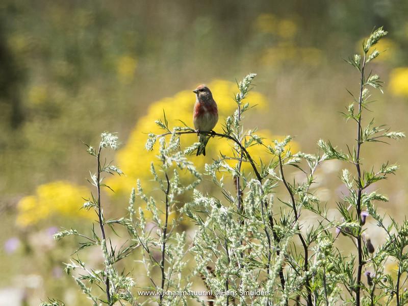 Kneu (Carduelis cannabina)-820_3531