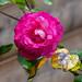 La rosée sur la rose 🌹