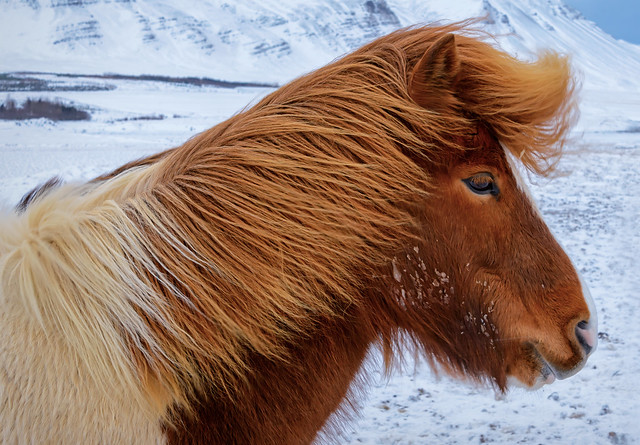Icelandic horse in the snow on the west coast of Iceland