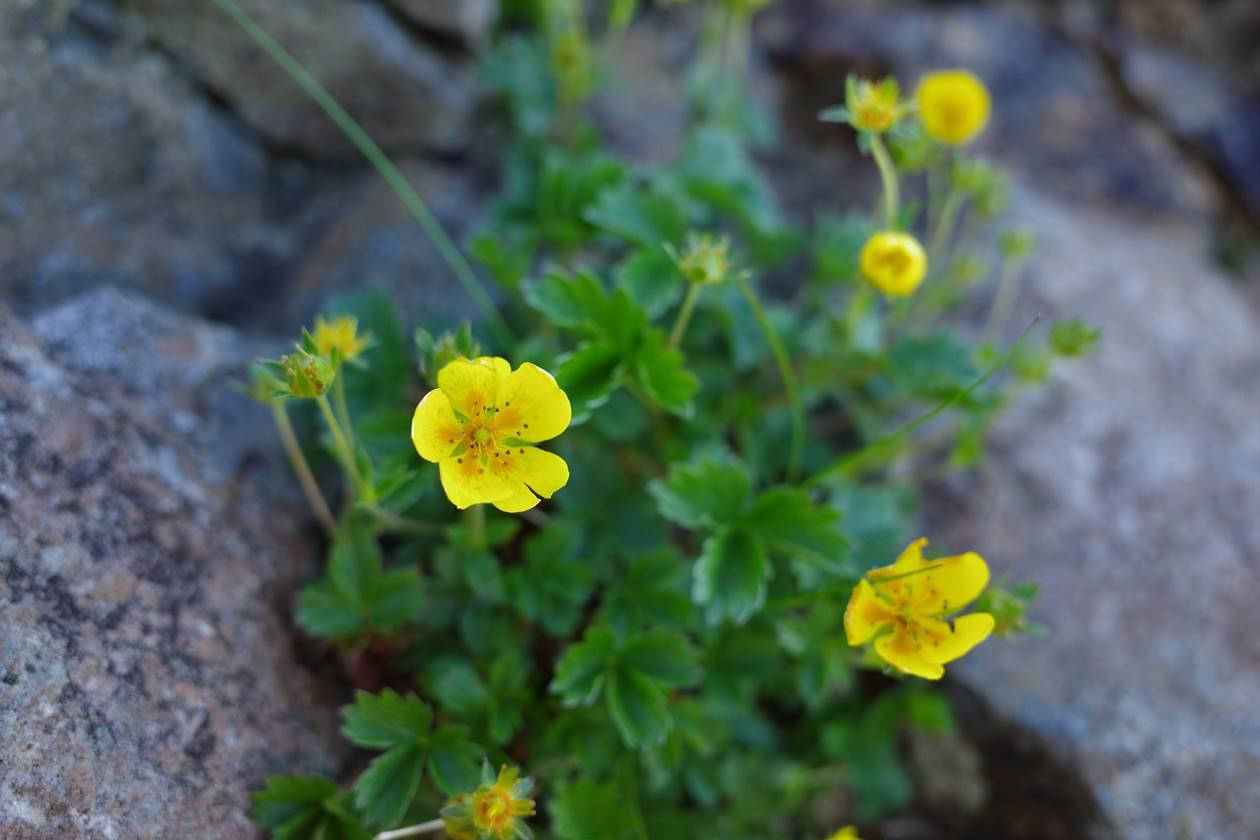 権現岳登山道に咲いていた黄色い花