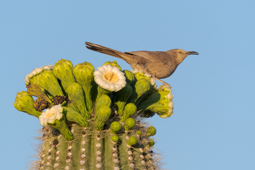 A cuve-billed thrasher swallows after feeding from a saguaro blossom on the Chuckwagon Trail in McDowell Sonoran Preserve in Scottsdale, Arizona in May 2020
