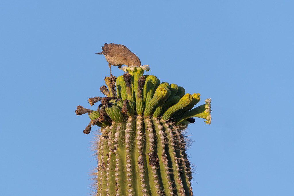 A cuve-billed thrasher sticks its head into a saguaro blossom on the Chuckwagon Trail in McDowell Sonoran Preserve in Scottsdale, Arizona in May 2020