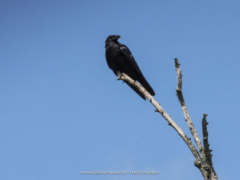 Zwarte kraai (Corvus corone)-820_3474