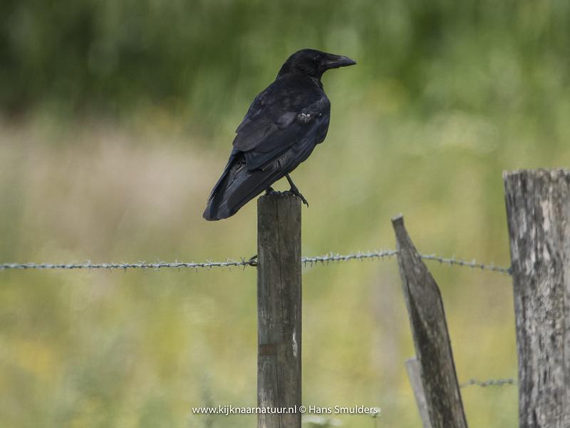 Zwarte kraai (Corvus corone)-820_3524
