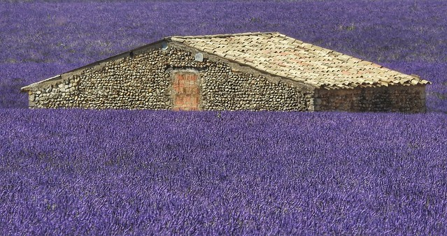 Drowned in lavender