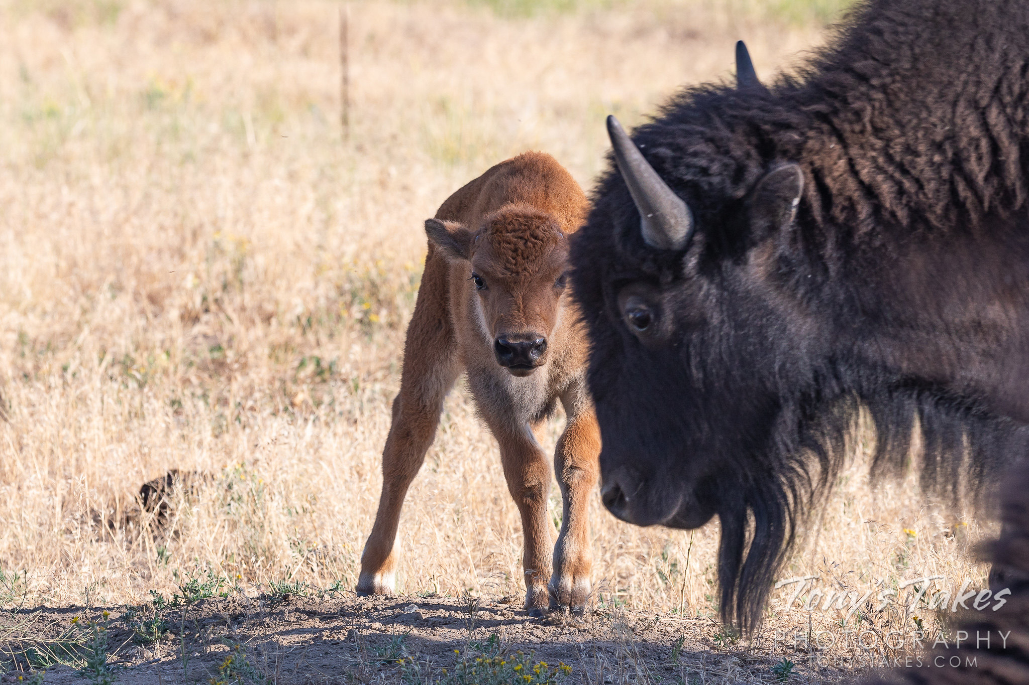 A bison calf keeps watch from behind its mother. (Tony's Takes)