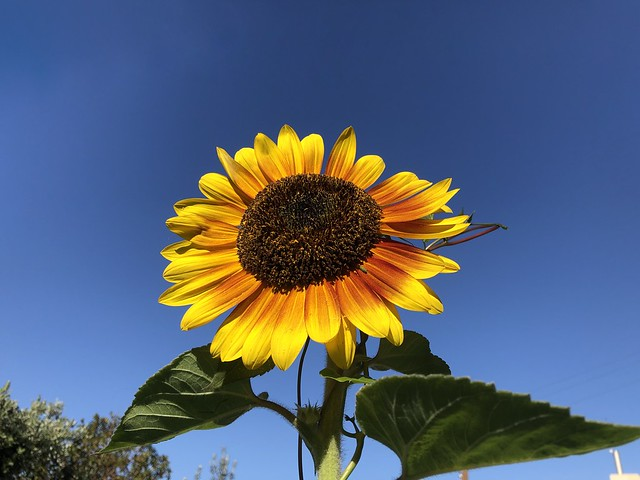 sunflowers are blooming