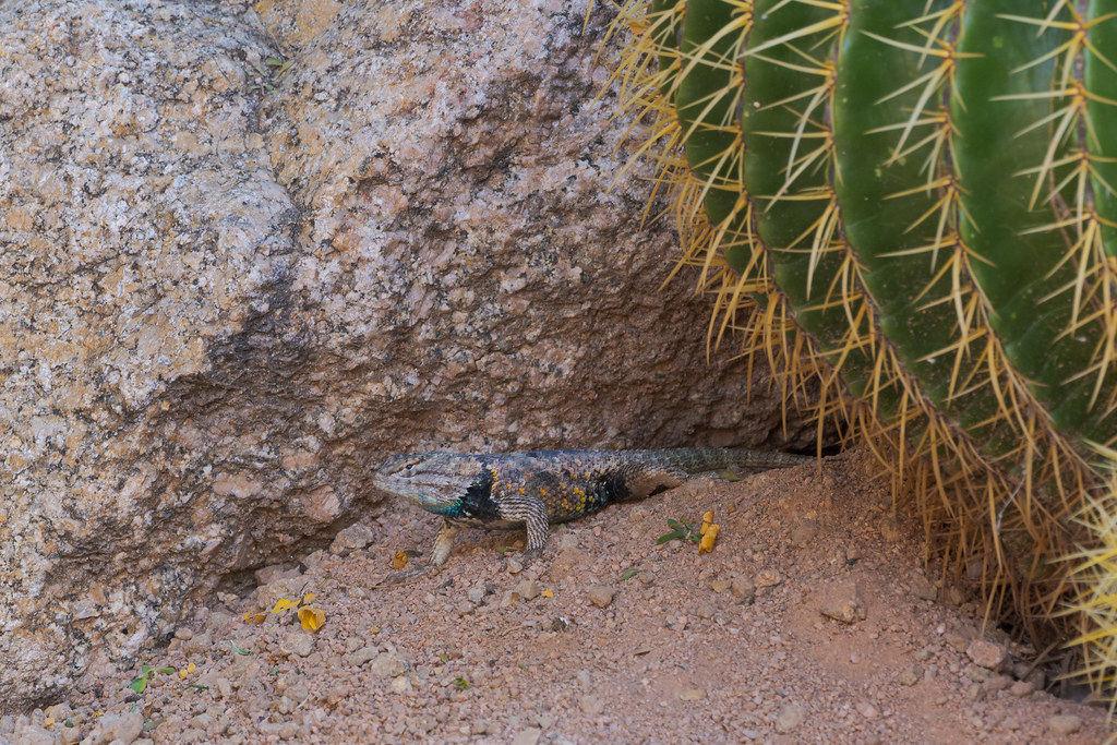 A desert spiny lizard sits behind the entrance to its new home, it moved into an antelope squirrel's home, taken in our front yard in Scottsdale, Arizona in June 2020