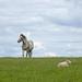 Horse and sheep
