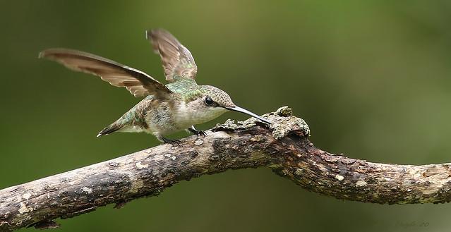 Colibri à gorge rubis \ Ruby-throated Hummingbird