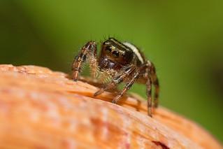IMG_0021 Daring Jumping Spider