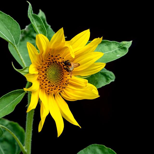 Bumblebee on Sunflower (in-explore-2020-07-12)