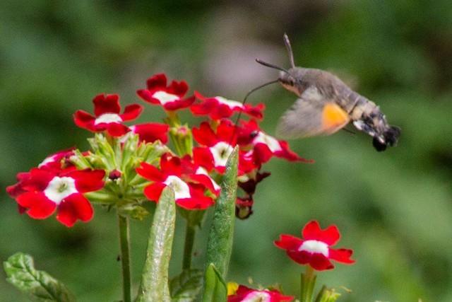 Colibri Sphynx