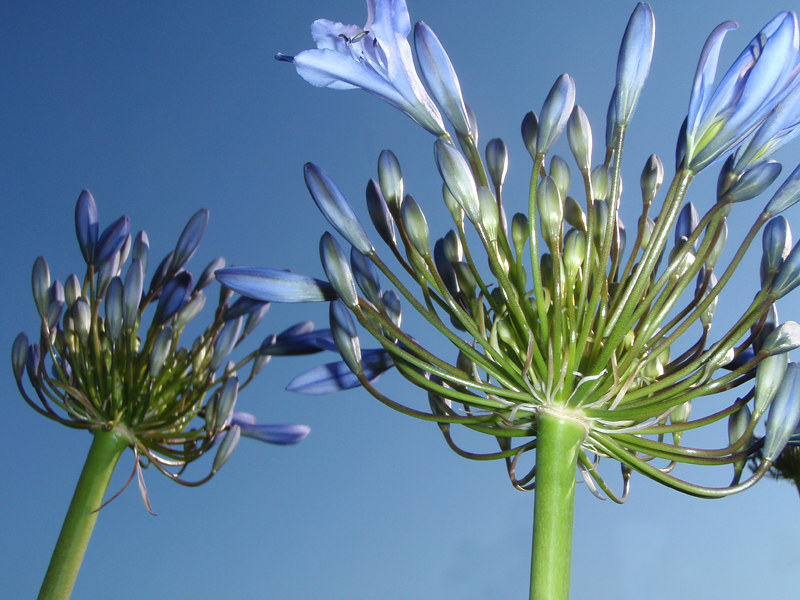 A blue African Lily up against a blue sky