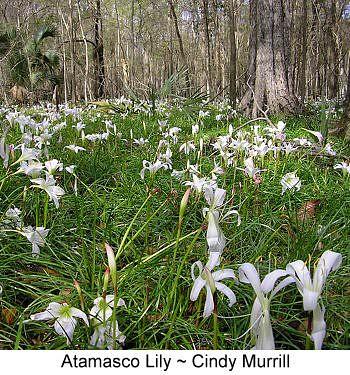 Field of atamasco lilies.