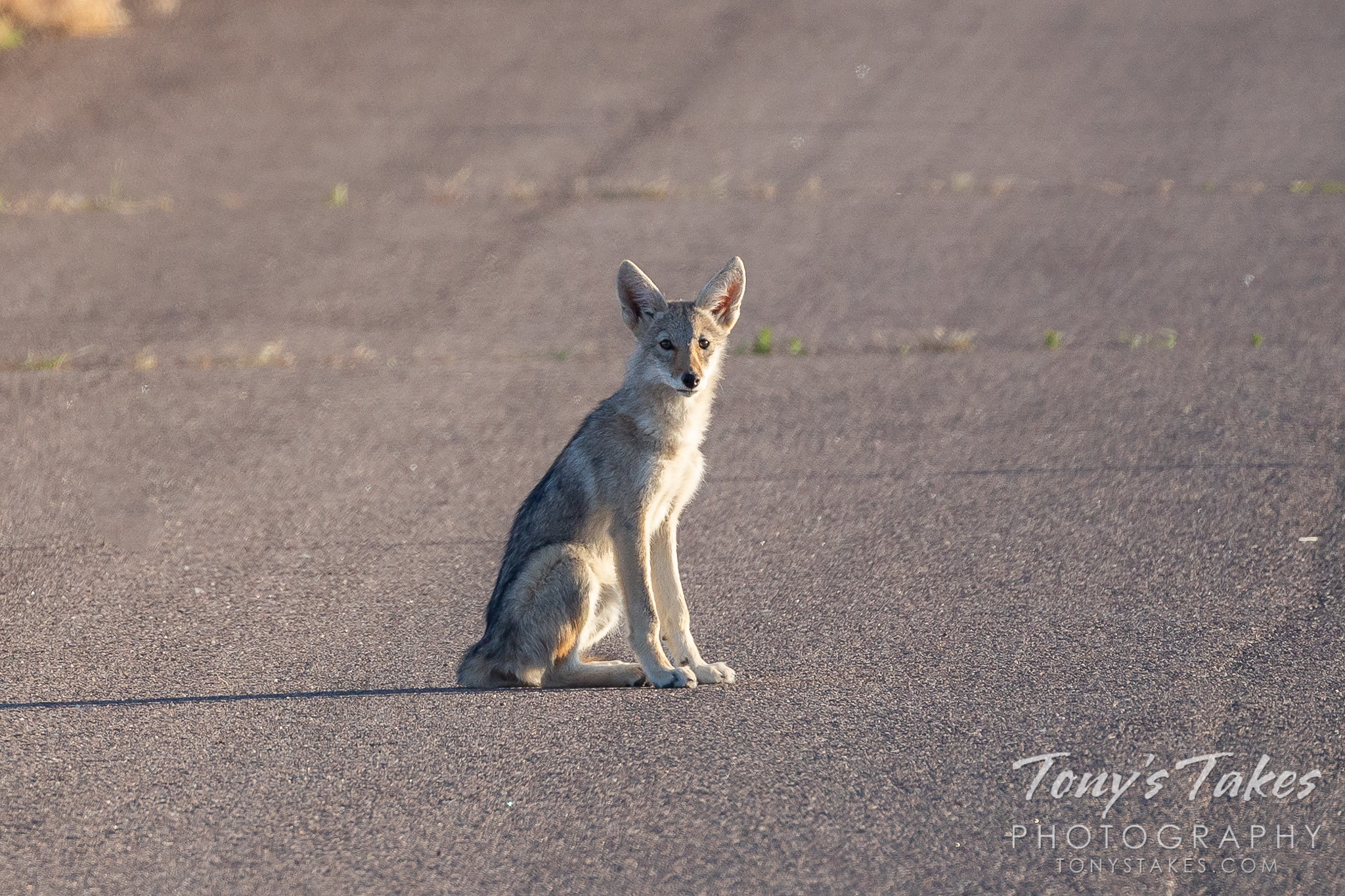 A young coyote hangs out in the road. (Tony's Takes)