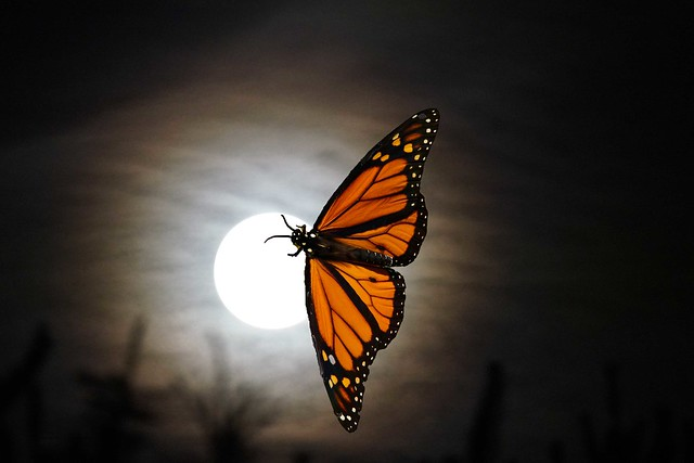 Monarch on the moon