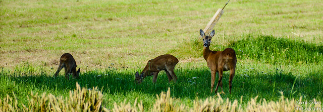A family of roe deer and twins