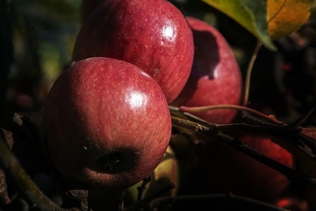 The Apple Harveest