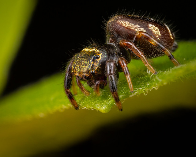 Jumping Spider Lookig Down