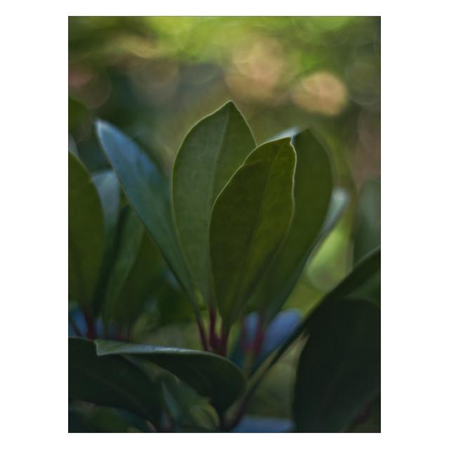 Rim lit leaves (LVK Wk28)