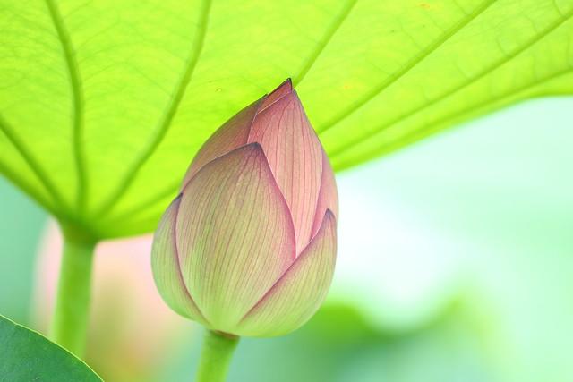 Bud of lotus