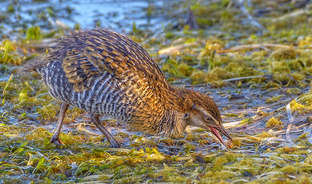 in the shadows - a buff-banded rail