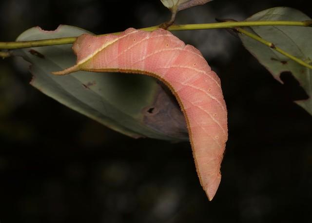 Hawk Moth Caterpillar (Sphingidae)