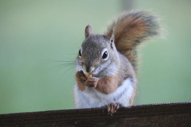 Backyard Red & Fox Squirrels (Ypsilanti, Michigan) - 193/2020 30/P365Year13 4413/P365all-time (July 11, 2020)