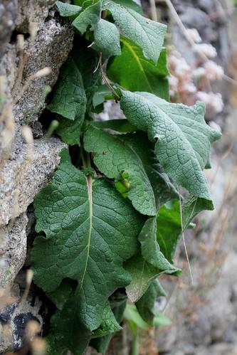 Verbascum nigrum - molène noire, bouillon noir 50102736318_156a4ede53