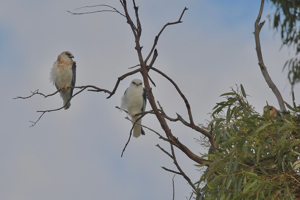 Black - shouldered Kites ( its cold and Dad is waiting )