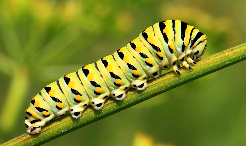 black swallowtail (Papilio polyxenes) caterpillar at Hayden Prairie State Preserve IA 653A5060