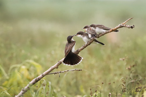 Eastern Kingbird Family | by Shari McCollough Nature Photography
